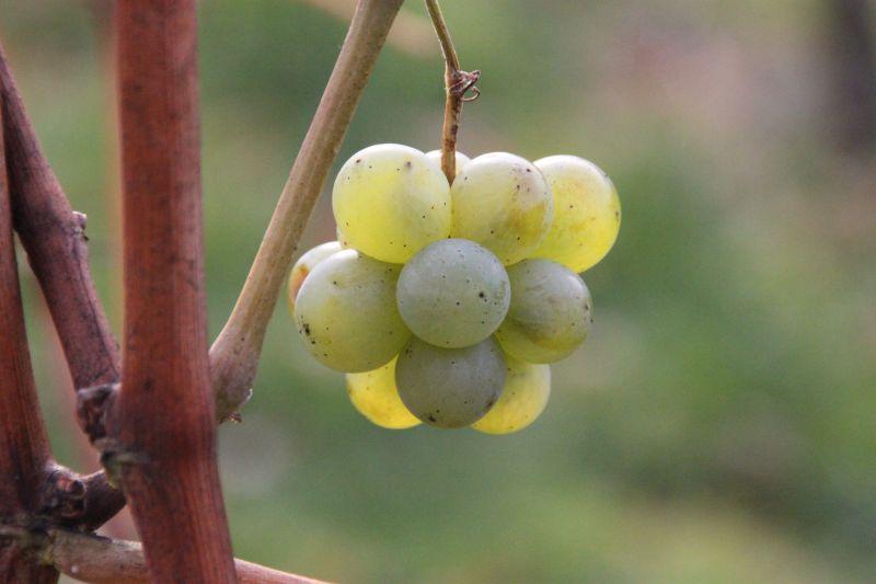 Chardonnay Traube