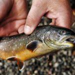 Der Saibling - Es muss nicht immer nur der Lachs sein