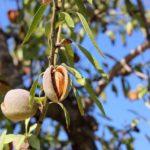 Mandelöl – Mandeln gibt es bitter, süß und salzig