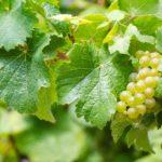 Pinot Grigio aus Italien oder der graue aus Burgund?