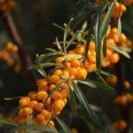 Sanddornöl - Zwillingsöl - Eine Pflanze - Zwei Sorten Öl
