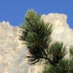 Zedernussöl – Aus dem Altai Gebirge in unsere Küchen