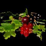 Johannisbeersamenöl – Das Geschmacksöl schlechthin