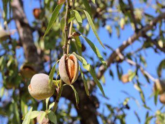 Mandelölpflanze