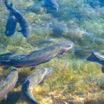 Forellenteich - Die Forelle - zuhause im Forellenteich